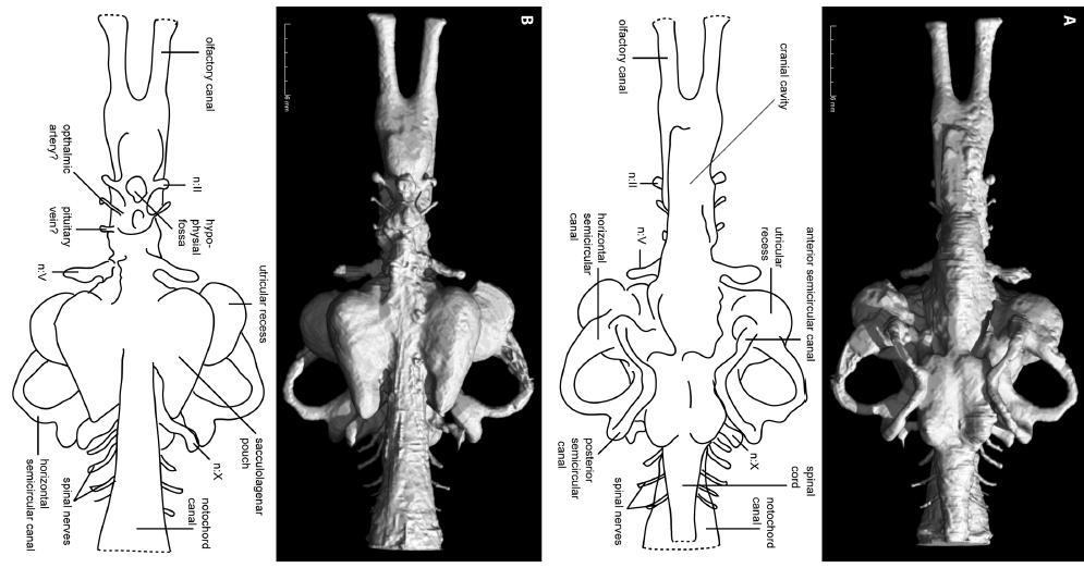 Rhinodipterus endocast